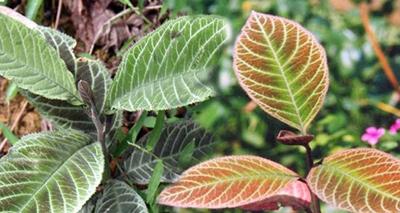 Hình ảnh lá khôi ngoài tự nhiên