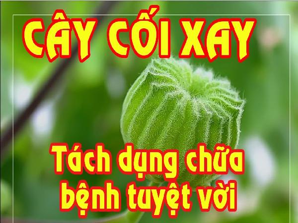 Tác dụng chữa bệnh của cây cối xay