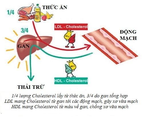 Quá trình chuyển hóa Cholessterol trong cơ thể
